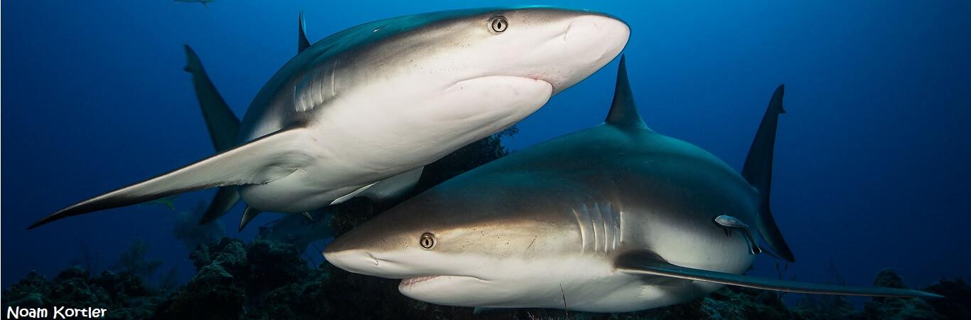 Caribbean-Reef-Shark-020